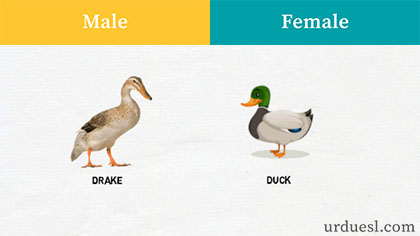 masculine of duck, Male And Female Names Of Animals