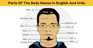 Parts of Body Names in English and Urdu with Pictures – Download PDF